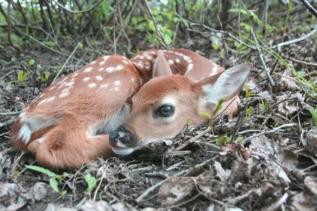 whitetail deer fawn lays in the forest in the wilderness