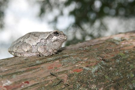삼나무 나무에 앉아 회색 나무 개구리 스톡 콘텐츠