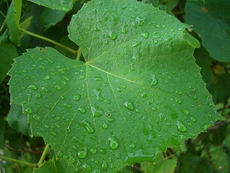 leaf grape: hoja de uva con gotas de lluvia