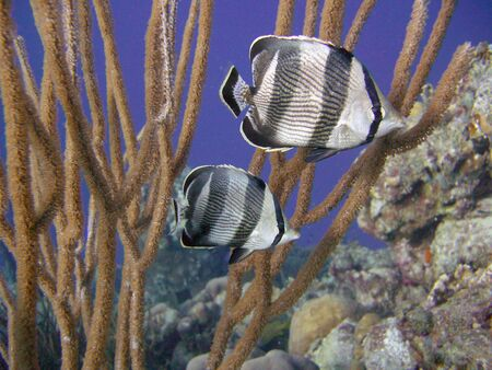 banded butterflyfish swimming in tropical coral reef photo