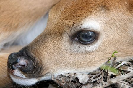 newborn whitetail deer fawn close up of face