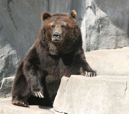 old grizzly bear with large claws on a rock ledge