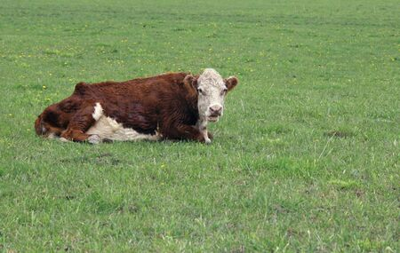 hereford: hereford bull laying on a green pasture Stock Photo