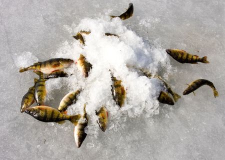 flavescens: Nice catch of pearch laying on a frozen lake.Perca flavescens Stock Photo