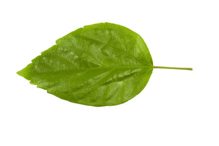 Hibiscus leaf isolated over white background for plant identification