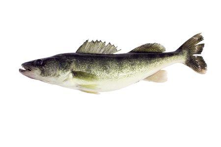 Walleye, Sitzostedion Viterum, aislado en un fondo blanco Foto de archivo
