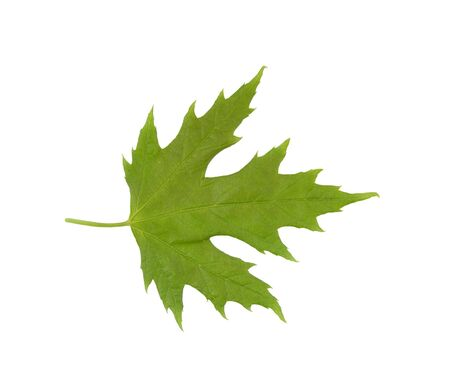 hardwoods: Maple leaf is isolated over a white background