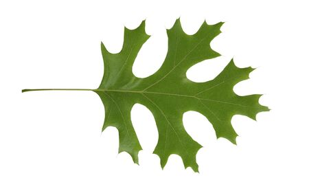 Red Oak tree leaf isolated over white background