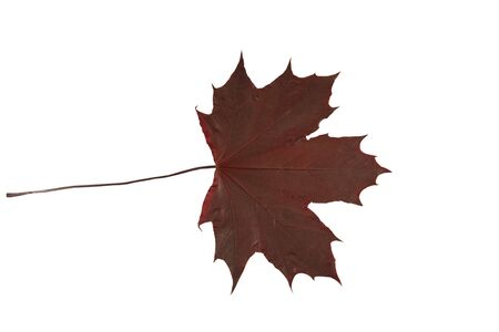 red maple leaf: malus domeastica, red maple leaf isolated over white background (spring colors)