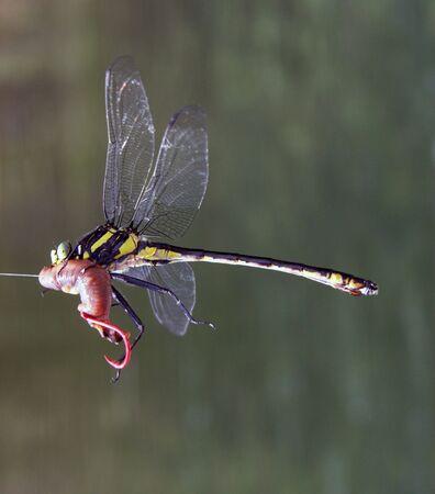 Dragon fly takes a night crawler fishing bait Stock Photo - 5498289