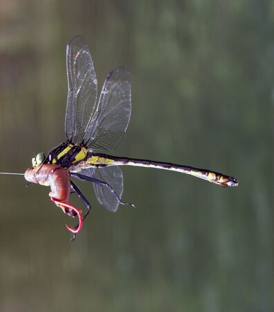 Dragon fly takes a night crawler fishing bait Stock Photo - 5498289