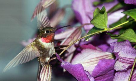 Ruby throated hummingbird landing on a wild flower