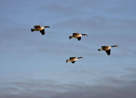 flock of canadian geese in formation photo