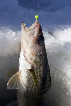 walleye being pulled through the ice on a frozen lake Stock Photo