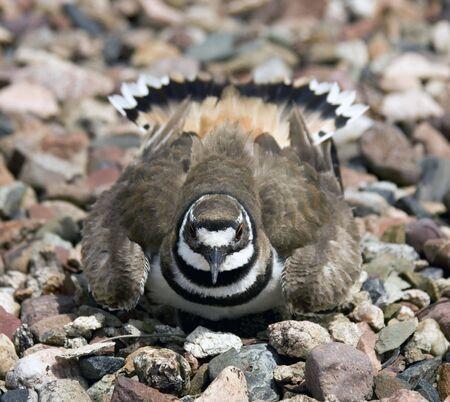 defensive posture: Charadrius vociferus (chardrius vocierus) de anidamiento toma una postura defensiva  Foto de archivo