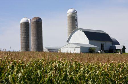 campo de ma�z con granja lechera en segundo plano