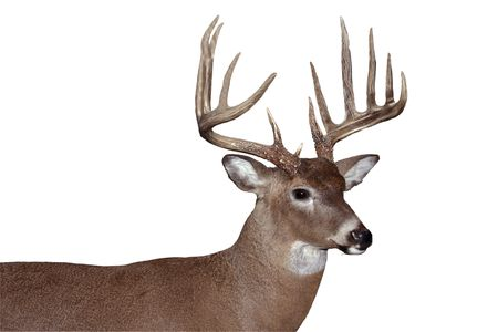 Trophy whitetail buck geïsoleerd  Stockfoto