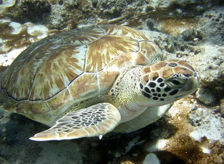 sea turtle on a coral reef underwater Stock Photo - 8566792