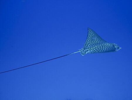 spotted eagle ray on an underwater tropical reef Stock Photo