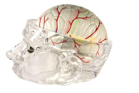 고립 된 교육 및 교육을위한 인간의 두뇌 모델 스톡 콘텐츠
