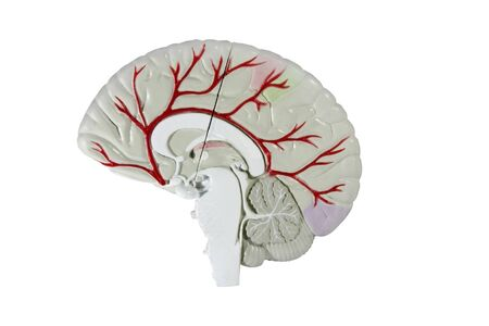 cross section of the human brain model isolated over white with a clipping path at original size