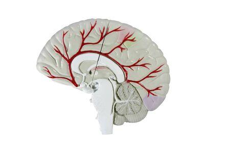 dwarsdoorsnede van de menselijke hersenen model geïsoleerd over Wit met een uitknippad op oorspronkelijke grootte