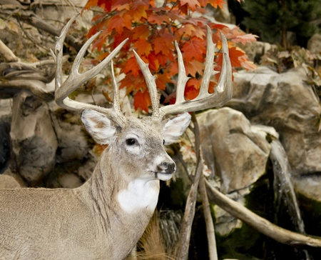 whitetail buck: trophy whitetail buck in a fall woods background Stock Photo
