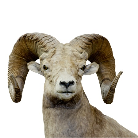 goat horns: bighorn sheep isolated over a white background Stock Photo
