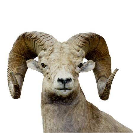 bighorn sheep: pecore bighorn isolate su uno sfondo bianco Archivio Fotografico