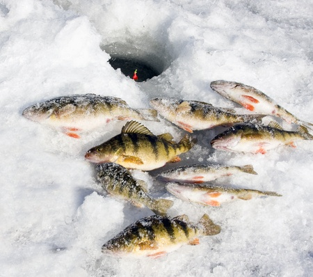 snow covered perch on the frozen lake caught ice fishing Stock Photo - 8712065