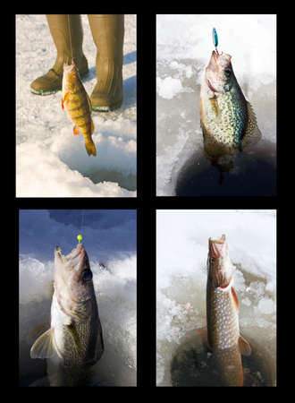 freshwater: four freshwater species of fish being pulled through the ice fishing holes Stock Photo