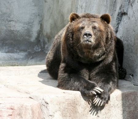 old grizzly bear on a rock cliff photo