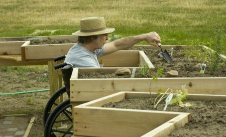 giardinieri: uomo sulla sedia a rotelle tendente un giardino in un letto di abilitazione