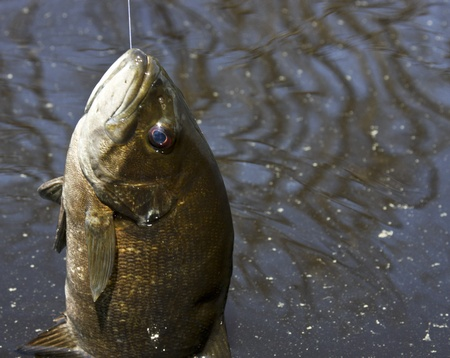 small mouth bass on the fishing line Stock Photo - 9835769