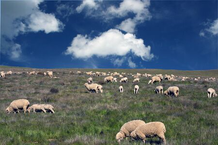 flock of sheep: flock of sheep on a grassy hillside