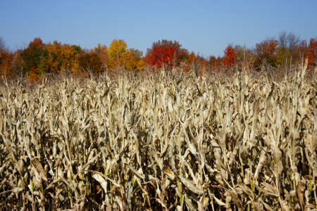 corn field with trees of fall colors in the background Stock Photo - 10820107