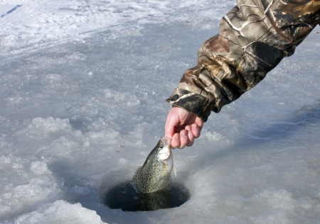 ice fishing: crappie caught ice fishing being released back into the whole