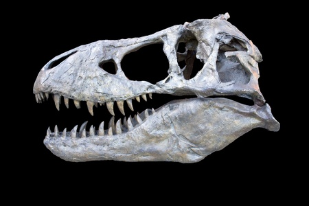 tyrannosaurus rex exact replica cast made from the original fossil skull