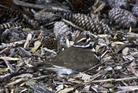 bark mulch: killdeer mother sitting on a nest hidden in bark mulch and pine cones