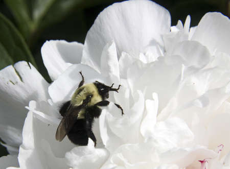 bumble bee on a flower petal makes a nature background