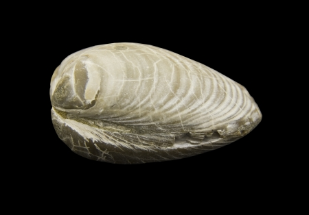 fossilized: fossilized clam shell isolated over a black background with a clipping path at original size Stock Photo