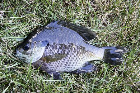 bluegill: freshly caught bluegill against a grass background Stock Photo