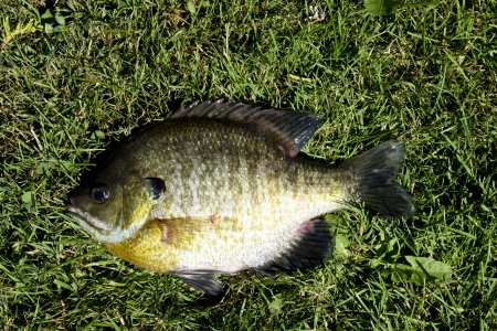 bluegill: bluegill fish close up with a grass background