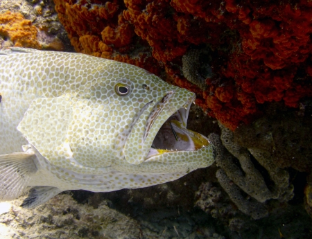 saltwater grouper on a coral reef getting parasites cleaned by cleaner fish
