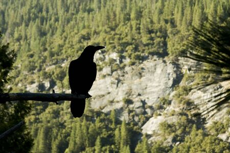 animal limb: raven sitting on a limb over looking a mountain valley