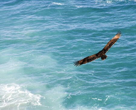 wingspan: majestic bird with full wingspan soaring over the pacific ocean