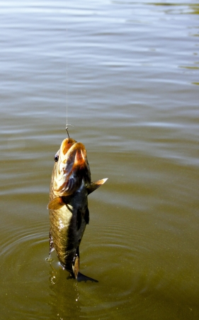 small mouth bass hanging on a line after being caught photo