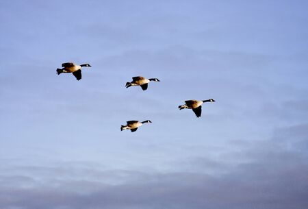 flock of canada geese flying in formation Stok Fotoğraf