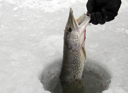 snoek gevangen vissen op het ijs