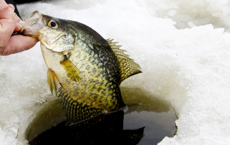 ice fishing: crappie caught while ice fishing being pulled from the hole